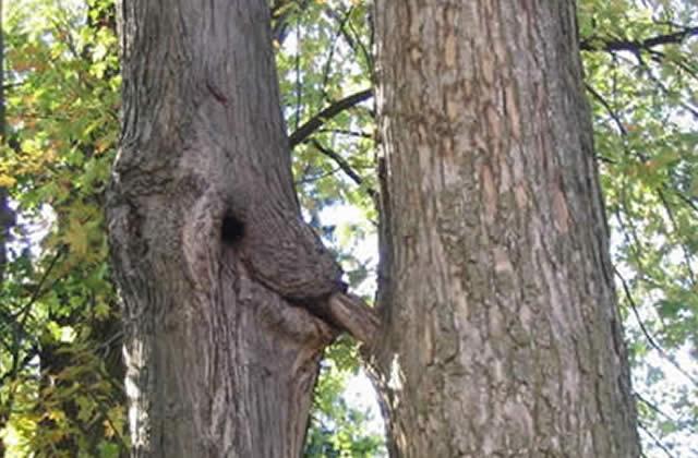 Oui, les arbres font aussi l'amour