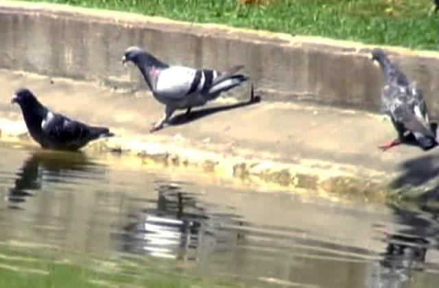 ADSL VS Pigeon voyageur…