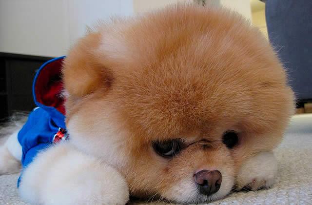 Boo, un chien-star sur Facebook