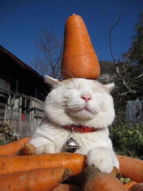 """Résultat de recherche d'images pour """"chat carotte"""""""