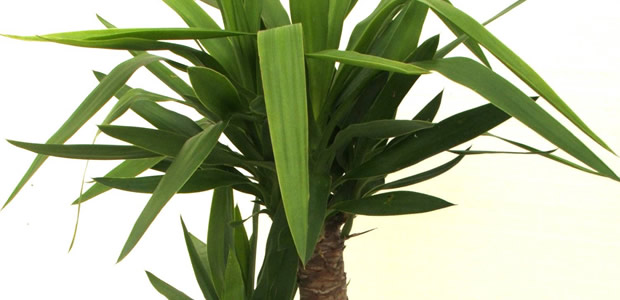 plante tropicale yucca