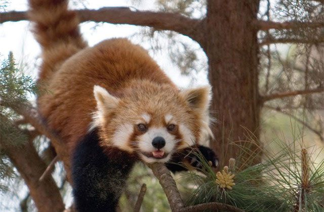 Le Cute Show : les pandas roux