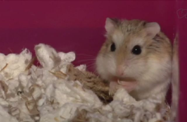 Le Cute Show : le refuge des hamsters