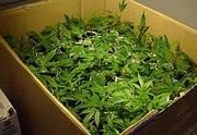 Lien permanent vers Le Colorado et l'état de Washington pourraient légaliser le cannabis à des fins récréatives