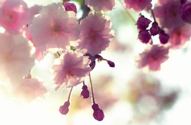 cerisiers en fleurs carte postale du japon. Black Bedroom Furniture Sets. Home Design Ideas
