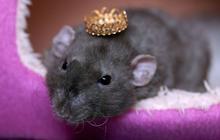 Carney Landis, le psy qui zigouille des rats — Expériences dangereuses #1