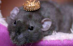 Lien permanent vers Carney Landis, le psy qui zigouille des rats — Expériences dangereuses #1
