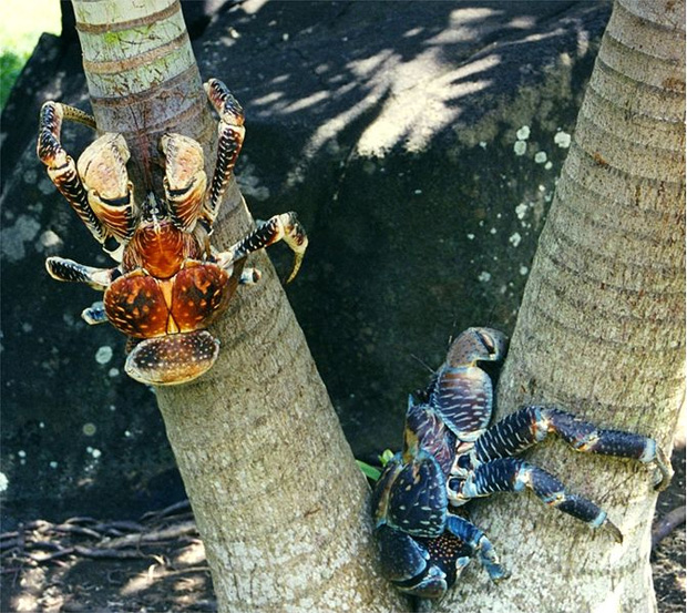 crabe de cocotiers