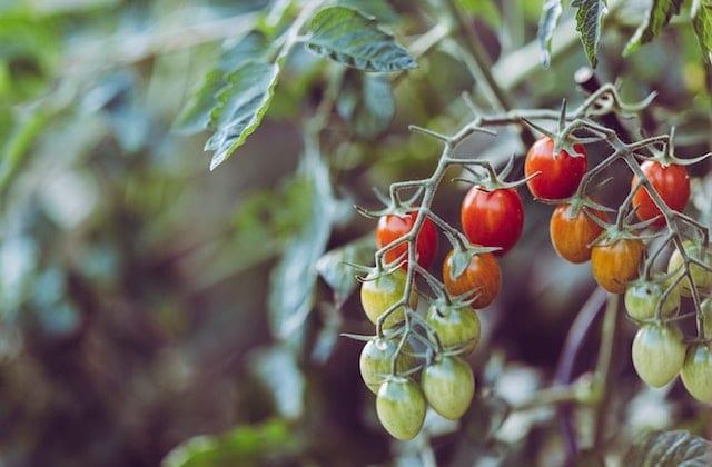 ramasseuse-fruits-legumes-job
