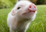 Lien permanent vers La boisson au placenta de porc — WTF Beauté