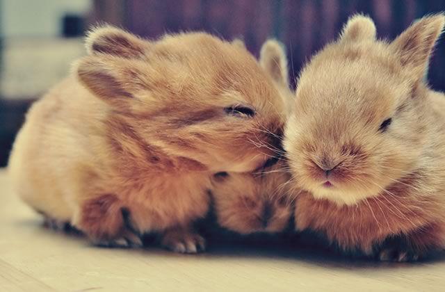 Connu Adopter un lapin : prix, conseils, entretien, stérilisation  JO08