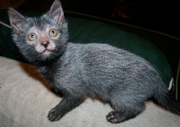 du gène du Sphynx (vous savez, le chat chauve), ces petits hybrides sont suivis de près (voir leur site) et seraient à ce jour en parfaite santé.
