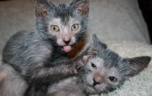 Le Lykoi, adorable petit chat-garou