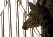 Lien permanent vers Une autre girafe euthanasiée au Danemark  ?