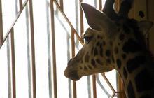 Une autre girafe euthanasiée au Danemark  ?