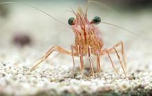 Pourquoi les crevettes, c'est pas net