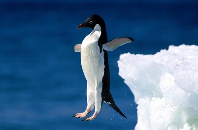 Pourquoi les pingouins sont des êtres fascinants