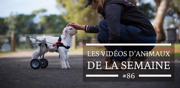 Les vidéos d'animaux de la semaine #86