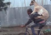 Lien permanent vers Une chèvre sur le dos d'un cycliste