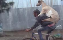 Une chèvre sur le dos d'un cycliste