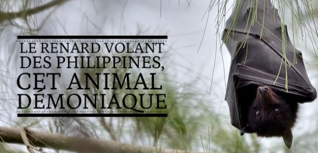 Le renard volant des Philippines, cet animal démoniaque