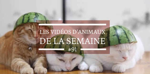 Les vidéos d'animaux de la semaine #91