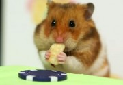 Lien permanent vers Un hamster fait un concours de hot dogs avec un humain