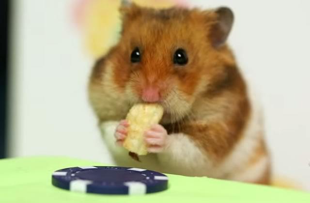 Un hamster fait un concours de hot dogs avec un humain