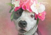 Lien permanent vers Des pitbulls à couronnes de fleurs pour lutter contre...