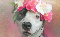 Des pitbulls à couronnes de fleurs pour lutter contre les idées reçues