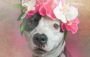 Lien permanent vers Des pitbulls à couronnes de fleurs pour lutter contre les idées reçues