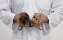 Apprends à dépister un cancer des testicules avec des cochons d'Inde