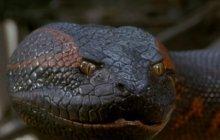 Un homme ne s'est pas fait (volontairement) avaler par un anaconda