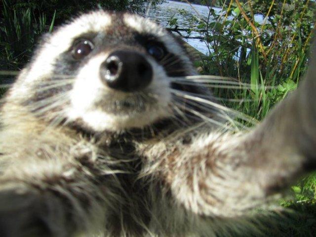 raccoon_audrey