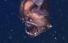 Le Black Sea Devil, poisson des profondeurs, se dévoile en vidéo
