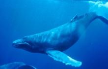Ewan Mc Gregor parle de baleines dans le documentaire « Humpack Whales »