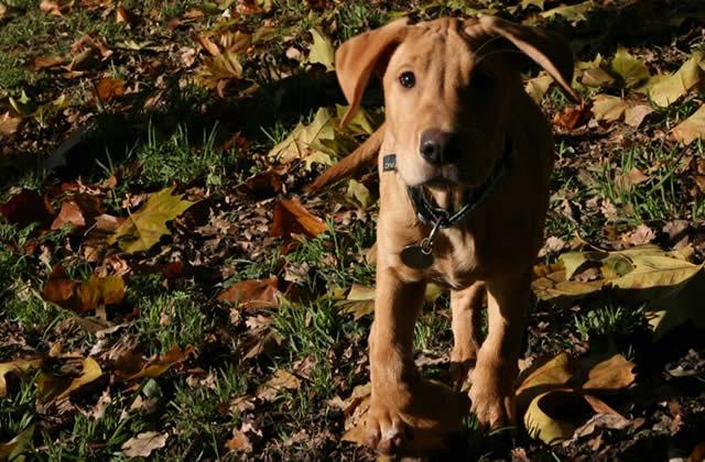 Je suis famille d'accueil pour les futurs chiens guides d'aveugles