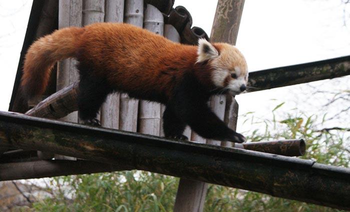 Pauline-panda-roux