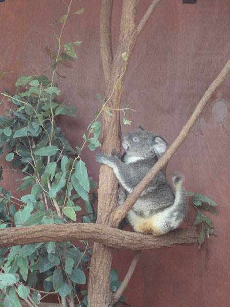 australie-brisbane-koala