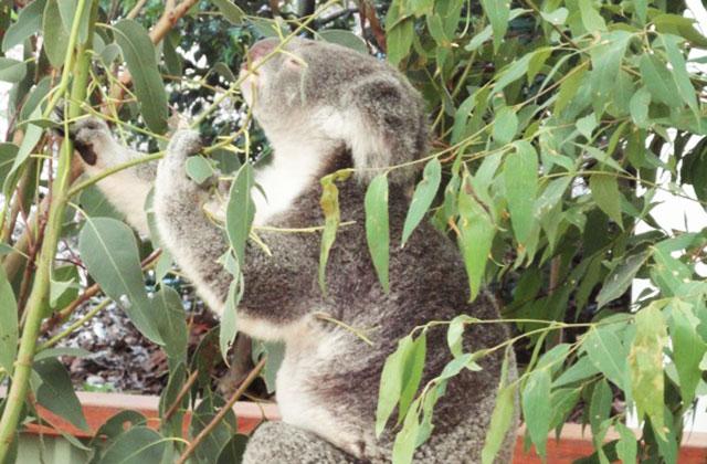 Brisbane et les koalas — Carte postale d'Australie