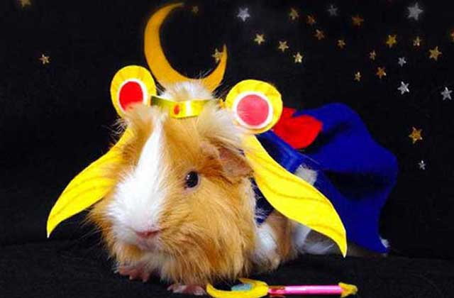 Un cochon d'inde déguisé façon cosplay