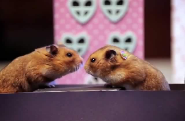 La toute petite Saint Valentin de tout petits hamsters