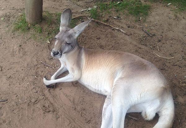 australie-road-kangourou