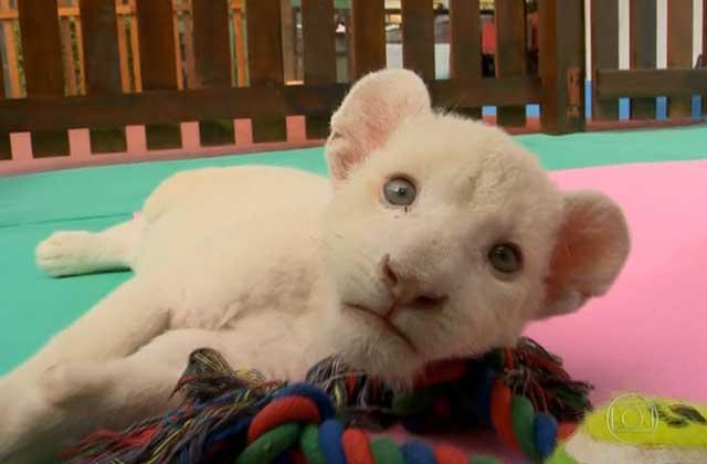 Un lionceau blanc rejeté par sa mère au Brésil crée l'émotion