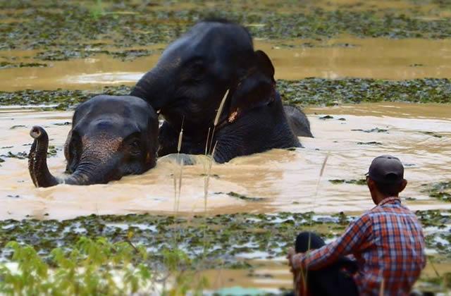 Le Surin Project aide les cornacs et leur éléphant à mieux vivre ensemble