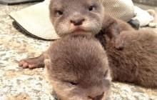 Les bébés loutres du zoo Hirakawa, votre pause mignonne du jour