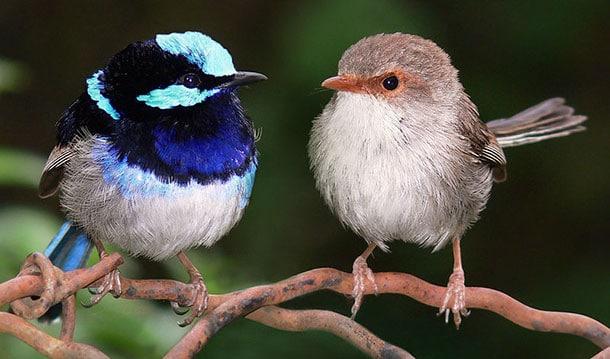 drague-oiseaux-merion