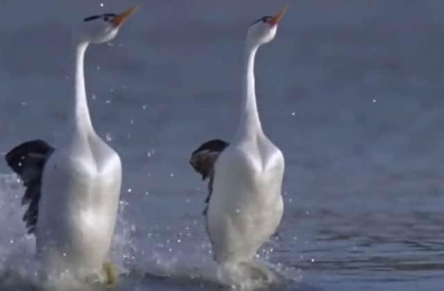 Les plus belles techniques de drague chez les oiseaux