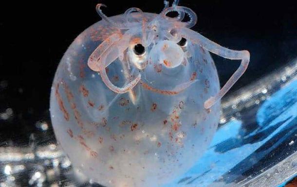 animaux-meconnus-2-calamar-cochonnet