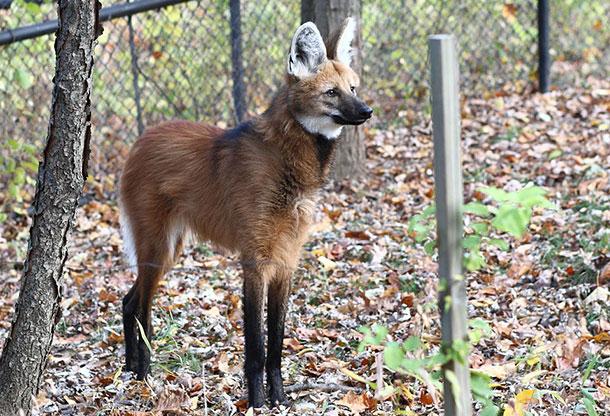 animaux-meconnus-2-loup-criniere